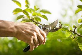 ornamental trees the importance of pruning how important