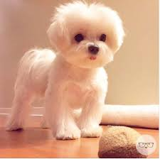 ideas about Dog Haircuts on Pinterest   Japanese dog     Pinterest