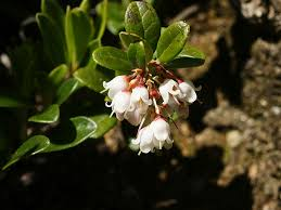 bog myrtle native flavours red vaccinium u2013 bearberry bilberry blueberry burren myrtle