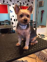 haircuts for yorkies 50 inspired cute short yorkie haircuts
