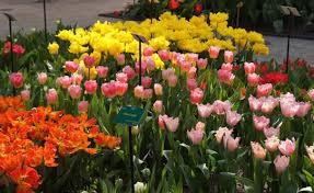 amsterdam with kids visiting the keukenhof tulip gardens in holland