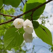 Fragrant Shade Plants - 238 best fragrant native flowers for south florida for those of us