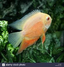 parrot cichlid hybrid freshwater fish stock photo royalty free