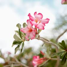 madagascar native plants tips for growing desert rose plants