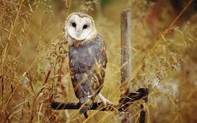 Wallpaper Barn Barn Owl Wallpaper