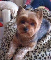 yorkie haircuts pictures only image result for short haircuts for yorkie dogs beautiful