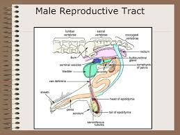 The Anatomy Of The Male Reproductive System Animal Reproduction And Genetics Terminology Objective U2013define