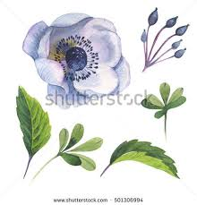 anemone flowers anemone flower stock images royalty free images vectors