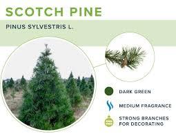 scotch pine christmas tree scotch pine christmas trees photo album christmas tree