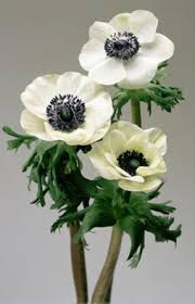 anemones flowers marianne panda anemone flowers and fillers flowers by