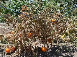 Tomato Plant Wilt Disease - vascular wilt disease