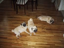 Laminate Flooring And Dog Urine Removing Pet Stains On Hardwood Floors Express Flooring