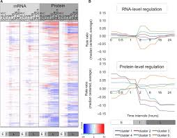 differential dynamics of the mammalian mrna and protein expression