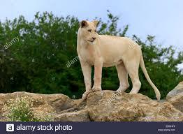 lion panthera leo female lioness white lion colour