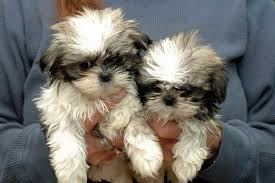 bichon frise and a shih tzu teddy bear puppy breeds