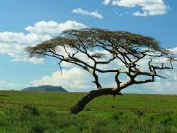 Oregon the traveler images Acacia tree serengeti oregon budget traveler jpg
