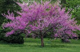 tree with purple flowers great flowering trees merrifield garden center