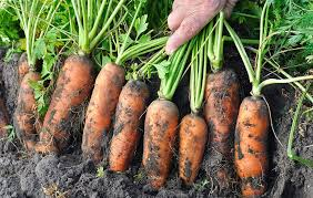 Freezing Root Vegetables - preserving your roots a cellaring primer