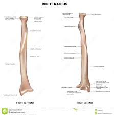 Human Anatomy Atlas Human Anatomy Atlas Of Human Anatomy Radius Anatomy Parts Of The