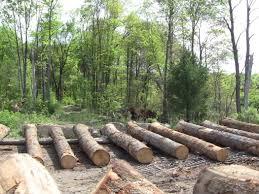 White Oak Tree Hunt For Veneer Logs
