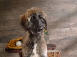 afghan hound in apartment pets afghan hound
