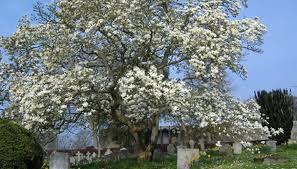 magnolia tree meaning garden guides