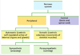 if your parasympathetic nervous system was studyblue
