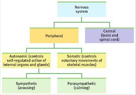 if your parasympathetic nervous system was studyblue