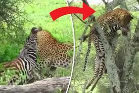 moment leopard kills zebra then drags carcass back up