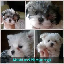 affenpinscher for sale canada adopt local dogs u0026 puppies in canada pets kijiji classifieds