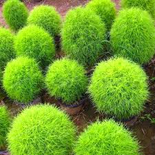 shop blue grass seeds perennial 500pcs grass burning bush