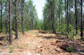Louisiana forest images July august 2011 timber harvesting jpg