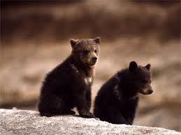 Are Bears Color Blind Grizzly Bears Bears Of The World