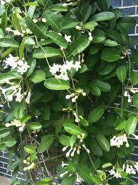 stephanotis flower flowers stephanotis sweet fragrance and simplicity