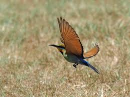 i u0027m back rainbow bee eaters in flight birds in backyards