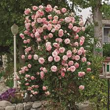 climbing pearly gates witherspoon rose culture