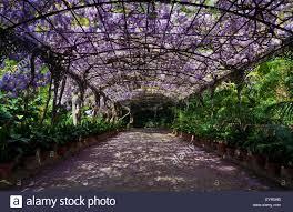 Photos De Pergola The Wisteria Arbour In Full Bloom Botanical Garden Or Jardin