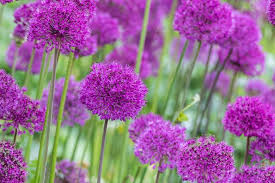 tall alliums for your garden borders