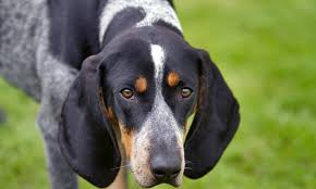 bluetick coonhound with cats bluetick coonhound history personality appearance health and