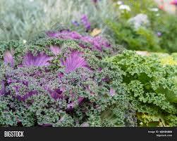 ornamental fringe mix kale garden image photo bigstock