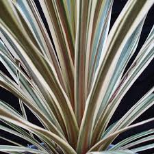 Fragrant Tropical Plants - so obsessed over the foliage on torbay dazzler dracaena palm with