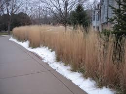 which grasses stand up in winter grasstalk