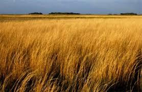 Tropical Savanna Dominant Plants - grasslands shrublands savannas and deserts conservation in a