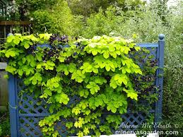 golden hop vine on trellis golden hops pinterest garden nook