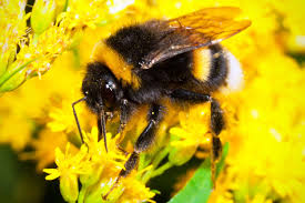 neston bumble bee control