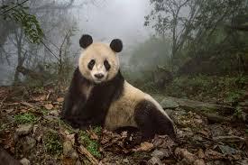 pandas get to know their wild side