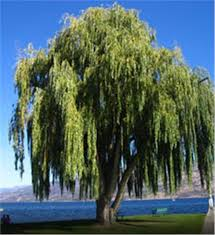 buy affordable weeping willow trees at our nursery