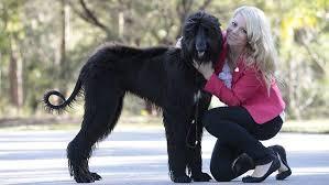 afghan hound breeders qld price of pooches goes sky high in bid to nab queensland u0027s best in