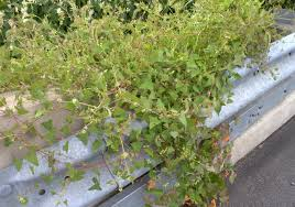 pennsylvania native plants list wild herb wildflower and native plant sightings