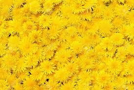 yellow flowers yellow flowers wallpapers desktop